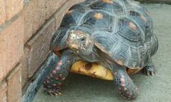 Included:   5 year old red foot tortoise 6' by 3' enclosure/cage Heat Lamp Lights   $300.00 or Best Offer