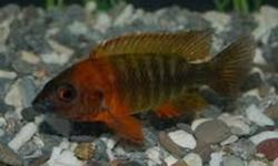 HI,  I HAVE RED PEACOCK  CICHLID FRY FOR SALE, ABOUT 30 BABIES 8 FOR $10 HALF INCH , ALSO 4 ZEBRA OBLIQUIDEN FRY LEFT, 1 INCH FOR $7 FOR ALL 4 ,AND ZEBRA OBLIQUIDEN FRY [NEWBORNS] COMING SOON  12 FOR $10 , CHEERS
