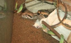 """I have a Columbian red tail I would like to sell, about 3-3.5 feet I havent had it out much lately, but with some handling it'll be friendly. Eats 2 mice weekly, live or dead Comes with a tank that is 36"""" wide 23"""" tall and 18.5"""" deep 2 heat lamps, rocks,"""