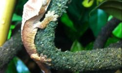 I have two three month old red tiger crested geckos for sale. They are eating wingless fruit flies, powdered crickets and rephasy cgd. I would like them to go to suitable homes, serious inquires only please. This ad was posted with the Kijiji Classifieds