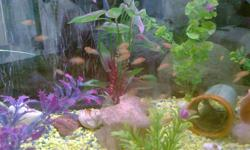 """Red Zebra/Orange Zebra African Cichlids fish   1"""" or less $10 for 20   1.5"""" to 2"""" $5 for 5   Picture 2: Parents"""