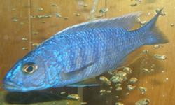 4 large adult Sciaenochromis fryeri cichlids all metalic blue with black bars and a orange bottom/rear fin, orange/yellowish dots. ranging from 4.5'' to 6.5'' 15$ each or 50$ for all 4. make me an offer! willing to trade for any aquarium supplies.