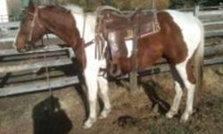 HERES A 2008, 15.1HH EXTREMELY WELL BRED GELDING, BROKE FLASHY PAINT. HE IS BRED TO WORK CATTLE AND ROPE AND HAS THE GREAT COLOR TO BOOT. HE REALLY CONNECTS TO THE COW AND WOULD MAKE A GREAT CUTTING OR REINING HORSE AS WELL. HE HAS DONE LOTS OF PASTURE