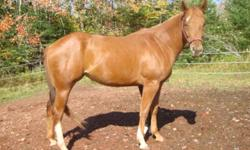 WAS PRICED AT $2,500.00!!!! NOW REDUCED TO $2,200.00! Ruby is a 2 year old Registered American quarter horse and  was born in May of 2009, she will mature to be around 15'3/ 16hh.  She is smart and always willing to learn something new. I have done some