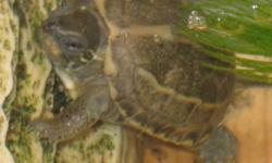 """Hatchling Chinese Reeves Turtles.About 1"""" shell size.Doing great.$50.ea."""