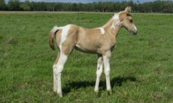 Gorgeous HOMOZYGOUS tobiano weanling stud colt for sale!! Very, very FANCY!! Can be purchased as a package deal with his VERY RARE, HOMOZYGOUS cremello tobiano dam! ($2500.00 OBO) and she's bred back the same way, so you will get another HOMOZYGOUS foal