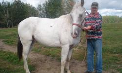 for sale, Registered Appaloosa.... Casper is a Red Roam 3yr, old gelding.broke loads good, and is good with the farrier, he has a wonderful personality, loves children and loves to play hola hoop and play with his ball he gets along very well with other
