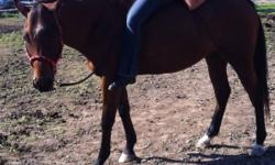 15.2h 6yr old bay reg. appendix QH gelding, Zippo Pine Bar(QH) Northern Dancer(TB) lines extremely quiet goes English or western show quality suitable for youth riders natural low carrying headset trailers cross ties great for farrier $1800 serious