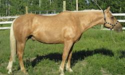 """My Grampas Chevrolet aka Chevy, is a 15.1-2 HH tank. He is eager to go out and try new things, goes western or bareback. He'd probably go English, but seems too """"beefy"""" for it to me. He isn't mean or spooky, actually pretty laid back. His pedigree is"""