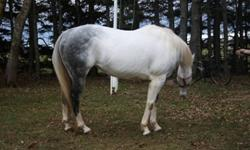 """Rockets Shinning Star"" 10 Year old Reg, Paint mare for sale. She is well broke w/t/l, turn on the haunches, and has a great stop! She has an A+ personality and loves attention. She's an in your pocket type horse. 14.3hh. Only reason for selling is winter"
