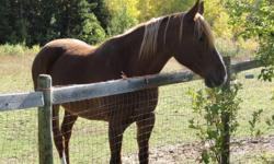 mare, approx. 15hh, bay, born 1997 in the US, friendly and easy to catch, used for pleasure/trail riding for the last 10 years, road safe, would make great brood mare (own her daughter), loves kids and dogs. This breed is known and loved for it's gentle