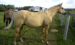 PALOMINO COLT   THIS EASY GOING COLT HAS THAT PERFECT PALOMINO COLOUR. His WORKING Bloodlines are a combination of SKIPPER W & MAGNOLIA BAR. If you are looking to add colour to your breeding program or just want to own a GREAT SADDLE HORSE PROSPECT don't
