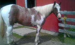 I have a 5 year old paint, registered in APHA that I am looking to sell. He is broke under saddle and has professional work done, however I don't have enough time for him. He has a fantastic temperament and a willingness to learn. He has been ridden by