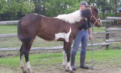 Yearling APHA filly Strait Sea Breeze. Sired by Strait Starbuck Robin, son of Strait From Texas. Halter broke, picks up feet, easy to handle. Could be taken in any direction, english or western, and possibly make a good barrel horse. Check out her full