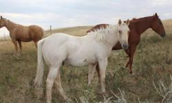 This is a big strong palomino stud colts.his mother is a big strong ranch mare that stands 15.3 and 1400 pounds and the father  is a very athletic and smooth. this colt will make a great rope or ranch horse. he has Got Pep, Peppy San Badger, Genuine Doc,