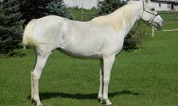 Nadara's Ivory Rose FX Registered Arabian Mare Reg # 0042125 View her Pedigree at http://www.allbreedpedigree.com/nadaras+ivory+rose+fx April 2002 Gray approximately 14hh Goes under english or western saddle, is comfortable in the ring and trail rides