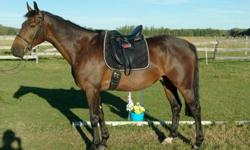 7 year old Westphalen/Hanovarian gelding. Top blodlines, schooling 1st level. Wonderful movement, very intelligent and athletic. Impeccable ground manners and he loves to work. Huge potential for the competetive dressage rider. He also shows talent for