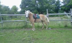 Anna Bell is a 6 yr old 15hh beautiful registered halflinger. Has had a rider on a couple of times. Is easy to work with and a very keen learner. She is being sold because we have too many horses and very little time to spend with Anna to train her. We