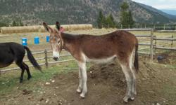 Cedar Hill Mr. Jones foaled July 30/2010. He is red roan in color and is registered with ADMS, registered # A-14949. His sire is Silver Nugget Mulemaker and his dam is Black Velvet, both registered Mammoth Jackstock. He won 3rd place in the world for