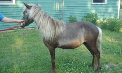 "This is a 4 year old AMHR gelding.This gelding stands 37"" tall,very friendly,ties in a stand stall and with training will make a good cart mini for showing or just a pet for pleasure."