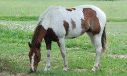 3 years old, 15.2 hh, registered, well started, loves attention. Asking $2500. Delivery can be arranged for beginning of December. (First two photos taken summer 2010. Last three taken as a yearling).