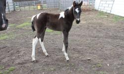 Polly(got my sas in chex) is a black and white toby paint filly born April 2011 she is freindly halter broke, has had her feet done and dewormed.  polly is ready for her new home she has nice straight legs and will be a big girl when shes all grown up.