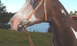 """Willys Party Time, registered 15/yo Paint gelding """"Rocket"""" is about 15.2hh. He is big, bold & beautiful & is an awesome ride! He has been  used as a roping horse & lightly  used as a gymkhana horse. {he knows the pattern but is not seasoned.} He is great"""