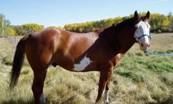 Imps Hotternhell is a beautiful, gentle, easy to handle chestnut overo 8 year old stallion. Broke to ride, has not been riden in a few years, has been halter bred and range bred, very gentle with mares and handler, easy to catch, very friendly, and gentle
