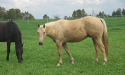 Beautiful registered palomino 4 year old gelding for sale. Doing well. Will be ready on November 16. Very friendly. Trailers easy. Been on trails and around cattle. Call 519-384-0492 for more details.