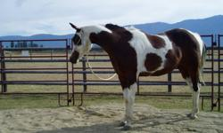 5 YEARS OLD, 15 H.H., REGISTERED PINTO GELDING, WELL HANDLED, GOOD DISPOSITION, SOUND.  HAS BEEN A PASTURE ORNAMENT, NEEDS SADDLE TRAINING. GOOD HOME A MUST, HE WOULD MAKE AN  AWESOME TRAIL PARTNER, WONDERFUL MIND AND NATURE.