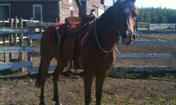 2005 -Registered Bay Purebred Arabian gelding. Green broke. He is learning extremely well & quickly with trainer. Will make an excellent show and or pleasure horse. Requires an experienced rider. He has a great personality & loves being around people. He