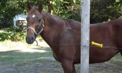 6 year old quarter horse mare, 15hh.  plasent horse to be around, good with kids. Reason for selling is just too much work, for the owners situation.