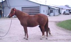 I HAVE A REGISTERED QUARTER HORSE FOR SALE.HE IS A EASY GOING FELLOW. RIDES WESTERN.GREAT WITH KIDS,LETS ANYONE RIDE.GETS ALONG WITH OTHER HORSES.HE DOES SOME BARRELS,POLE BENDING ETC.WHEN I HAD BOUGHT HIM I WAS TOLD HE CAME FROM THE RODEO,NOT SURE WHAT