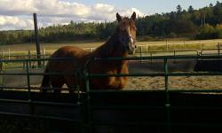 Registered Quarter horse mare, 9 years old, 14.3HH, stocky build, sorrel in colour, trained for western gaming, up to date with everything (Vet, dentist, farrier) has also had the vaccine against strangles, loves attention!, good with kids, very easy