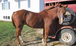 1989 Sorrel Registered QH Gelding, 15.3HH, Well Broke, Doc O'Lena breeding, has been used in 4-H, horse shows, worked cattle, easy to catch & load; easy-keeper. Has had teeth floated yearly (&shots), vet checked and is sound. Reason for selling - no time