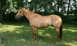 Beautiful 1996 Red Dun Gelding. Dun by DJ (AKA: Duke) has the kindest disposition and is a pleasure to work around. He's been used as a therapy horse for the last 4 years. Poco breeding on the top side and Eternal Sun on the bottom. He's 15.2 hh, up to