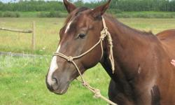 10 year old registered Quarter Horse Mare. Well broke, good for any rider. Loads and trims well. She has been ridden in the mountins, cattle sorting. Works well with sorting cattle.   Blood lines - Sire - LT Pocomoon Hancock                      Dam -