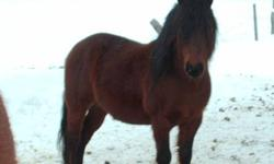 Hi !!! We have a beautiful dark bay Shetland stallion and registered quarter horse geldings for sale or trade for registered quarter horse mares or sheep... The stallion pony is not broke, and the quarter horses come from awesome bloodlines and some are