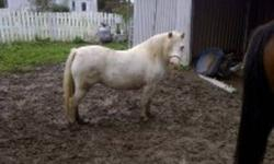 Looking for picture perfect? Ideal Christmas present pony! Every little girl's dream pony just waiting for her forever  home!   Selena is a real pet and she deserves to have a great home! Selena is approx 11 H. She is young ( 5 ) and still needs work.