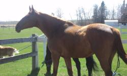 6yr old Chestnut Gelding.  Big, beefy and strong.  17'3 hh.  Goes English and Western. Good jumper/hunter prospect. Easy keeper.