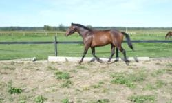 """Maverick is a 15.1 HH 5 year old registered Trakehner/Thoroughbred warmblood gelding.  He is the type of horse to be the first at the gate and wanting to be taught.  I have done some Parelli work with him, and he has done some free jumping over some 2'6"""""""