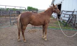 The Quarter horse Yearlings: CR Texas Gambler, CR Bonanza Wrangler, and CR Gypsy Pride; along with the Paints:  CR SKYLINE KARMA, CR SPLASHIN CRUISER, CR SUPER STAR TIPPER, CR CRIMSON HOTROD are registered, halter broke and are of quality stock. They are