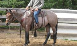 The Last Vaquero is a 14.2 hand registered AQHA gelding.  Cowboy is the ultimate dream horse.  He is a 5yr old gelding with a mind second to none.  He has no buck, bolt or rear.  He would make an excelent prospect for reining or heel horse.  Cowboy would
