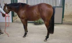 3 year old registered QH bay colt, this guy is easy to ride and very soft in the face. He could be used for any type of western event, he has alot of desire to turn and stop, making him a good reining prospect in particular. He clips/baths/loads no