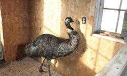 EMU COUPLE FOR SALE Price reduced from $400 now $280. This is for a male and a female. They are 5 yo. I've had them for only 5 months and the reason for selling is that I've found work in Ottawa... These birds will lay eggs from December to March. One egg