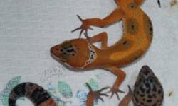 I am selling the following reptiles, they all come with 2 weeks of GUARANTEE. We can also deliver and if you are new we can help you to set up for no extra charge. 1. Baby Geckos Super Hypo Tangerine Carrot Tail..........$129 2. Baby Gecko Leopard