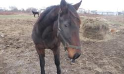 I have A 9 year old standardbred horse to give away to good home, he is a very gentle and well mannered horse, good all around horse but only good for light riding only. he is very good on trails very bomb proof, good with other horses and other animals.