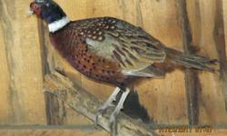 One pair of pheasants for $20.   They were hatched this past spring (2011) and are now full grown and looking great.