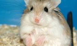 SOLD OUT UNTIL NEXT LITTER! I have a litter of  very unique hamsters ready to go to new homes. Normally supplied to  a local pet store, but pet store has no room. These are very active hamsters and the smallest species of hamster. If interested please