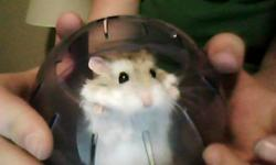 Paul is about 4-5 monthes old, he's a pure Robo. Dwarf Hamster. He is very energetic and small, so not recommended for children as he has a tendancy to slip out of your hands. He's very clean so he doesn't smell, as long as you regularily clean the cage
